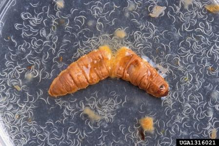 Thousands of nematodes bursting from a moth cadaver. Image: Peggy Greb